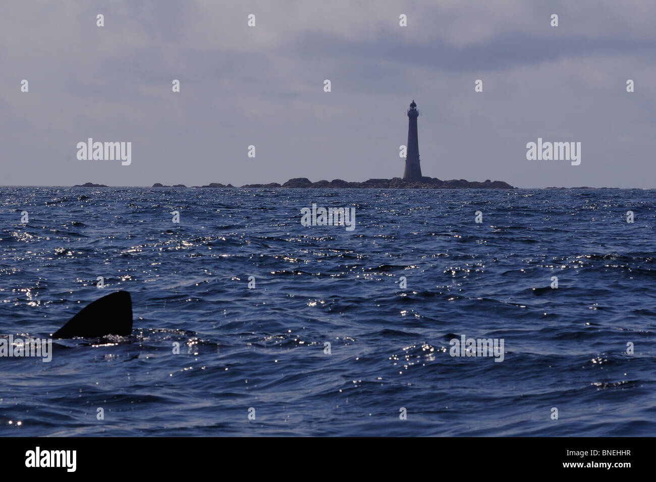 Skerryvore Lighthouse (11 miles SW of Tiree) and basking shark, Atlantic Ocean, Scotland - Stock Image