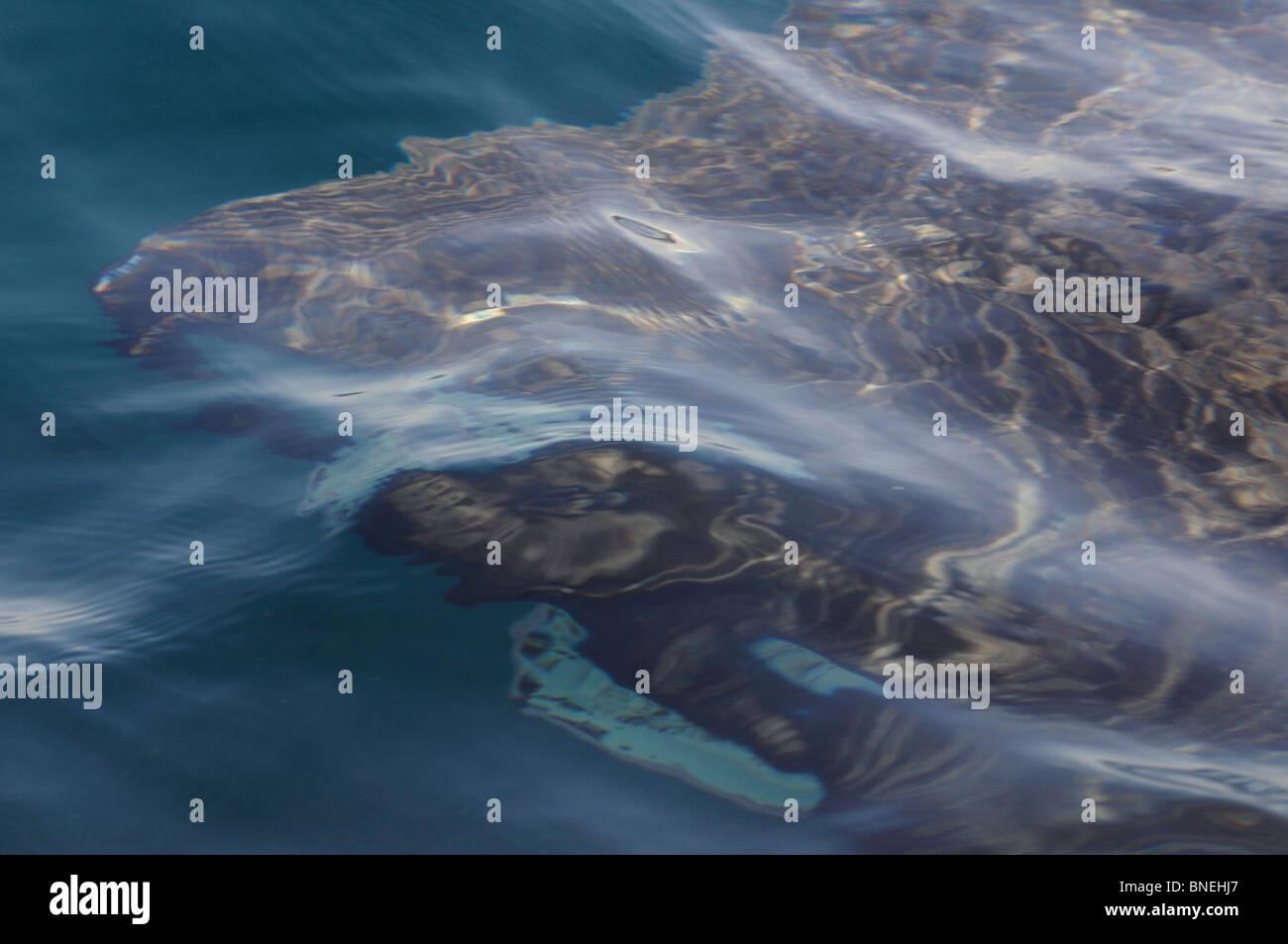 Basking shark near Skerryvore Lighthouse (11 miles SW of Tiree), Atlantic Ocean, Scotland - Stock Image