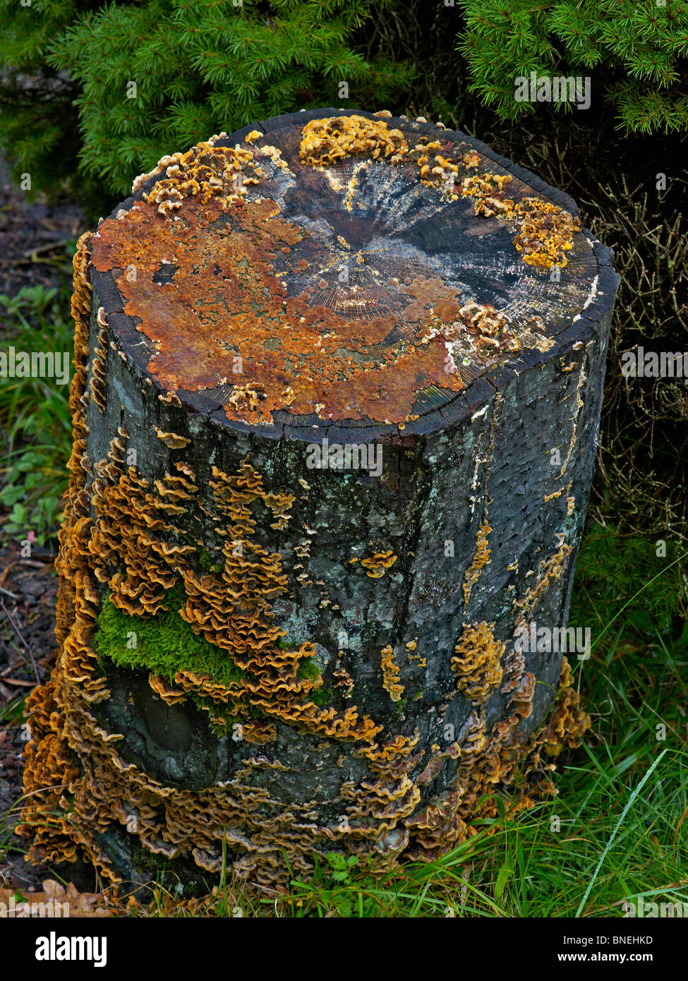 Fungi and moss covered tree stump - Stock Image