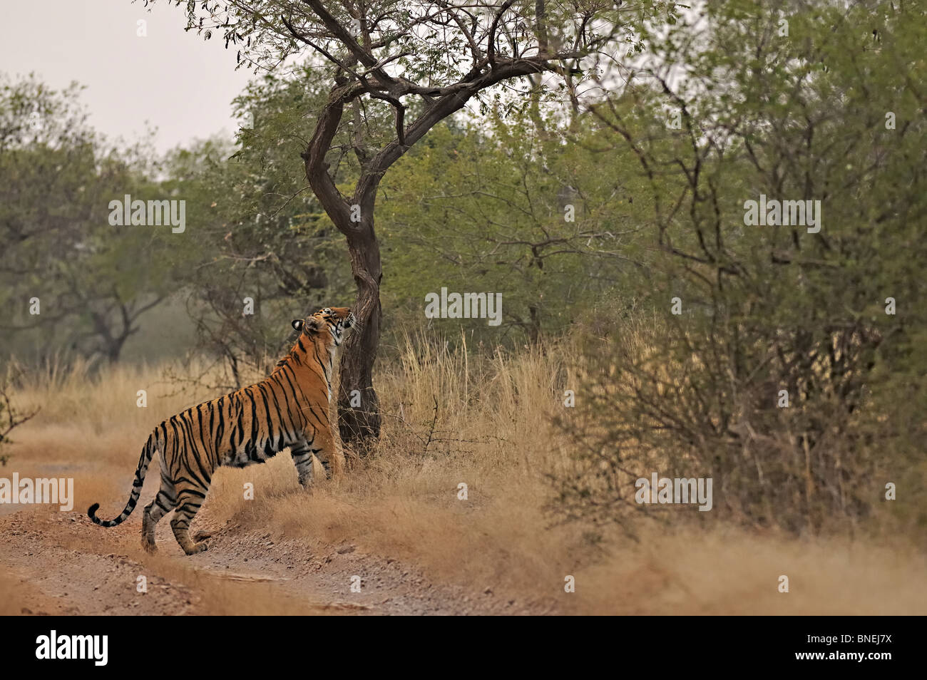 Tiger in the forest or jungle habitat of Ranthambore tiger reserve - Stock Image