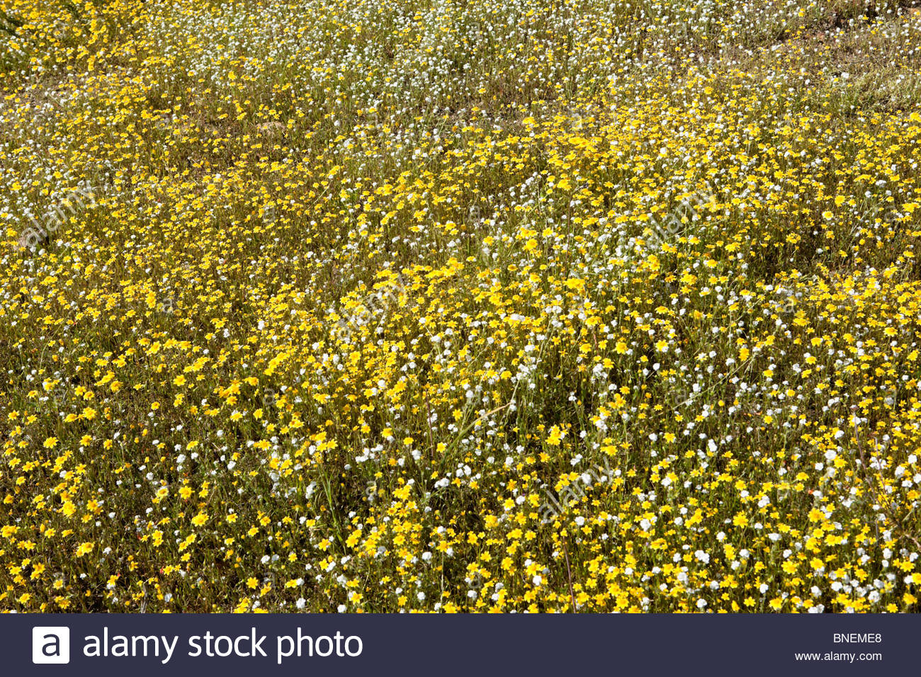 Spring Wildflowers in the Hills of Lake Elsinore, California - Stock Image