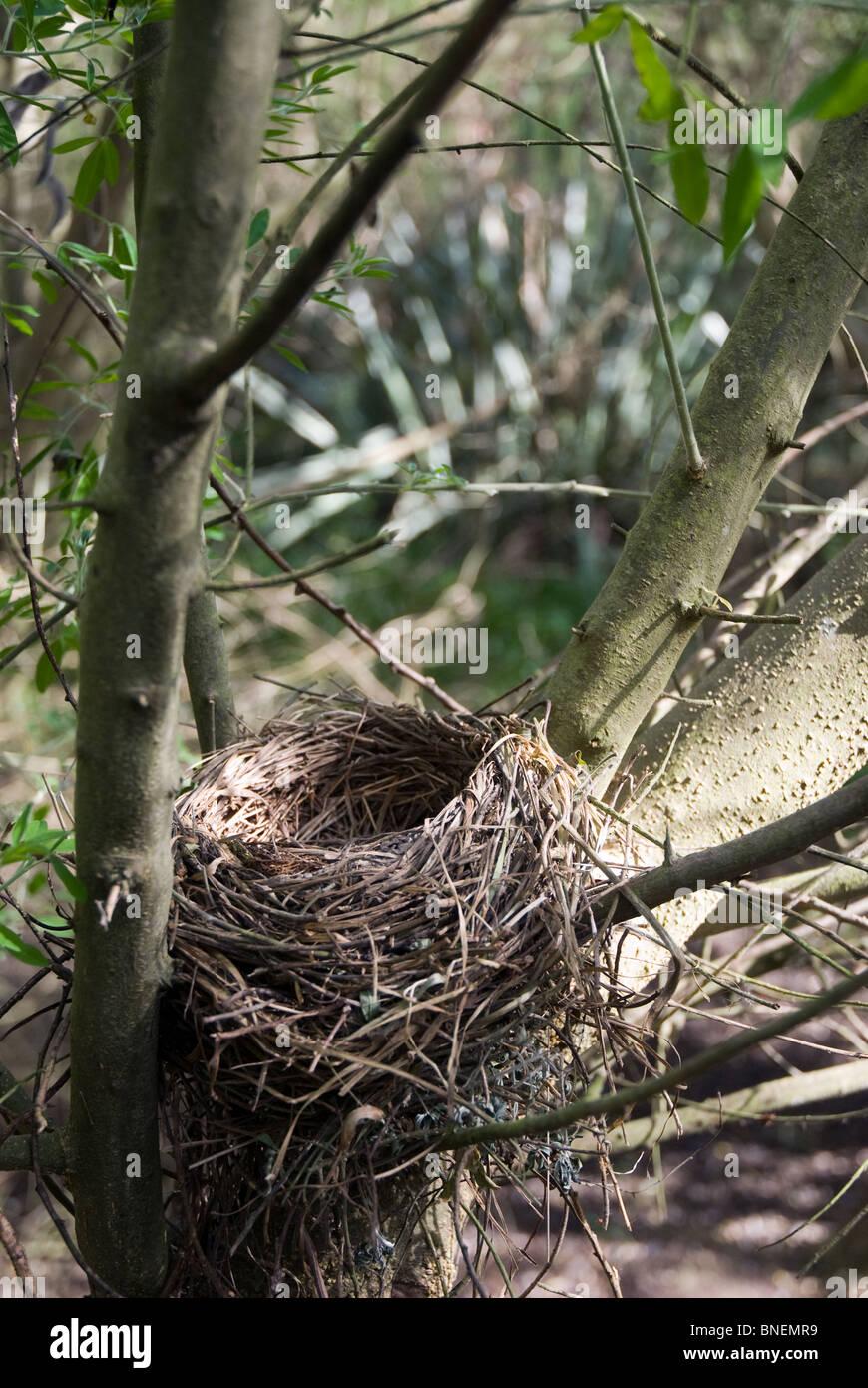 Blackbird Turdus merula nest - Stock Image