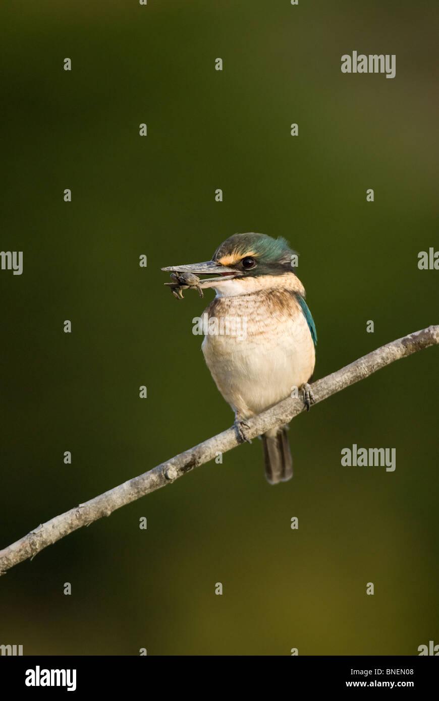 Sacred Kingfisher Halcyon sancta - Stock Image