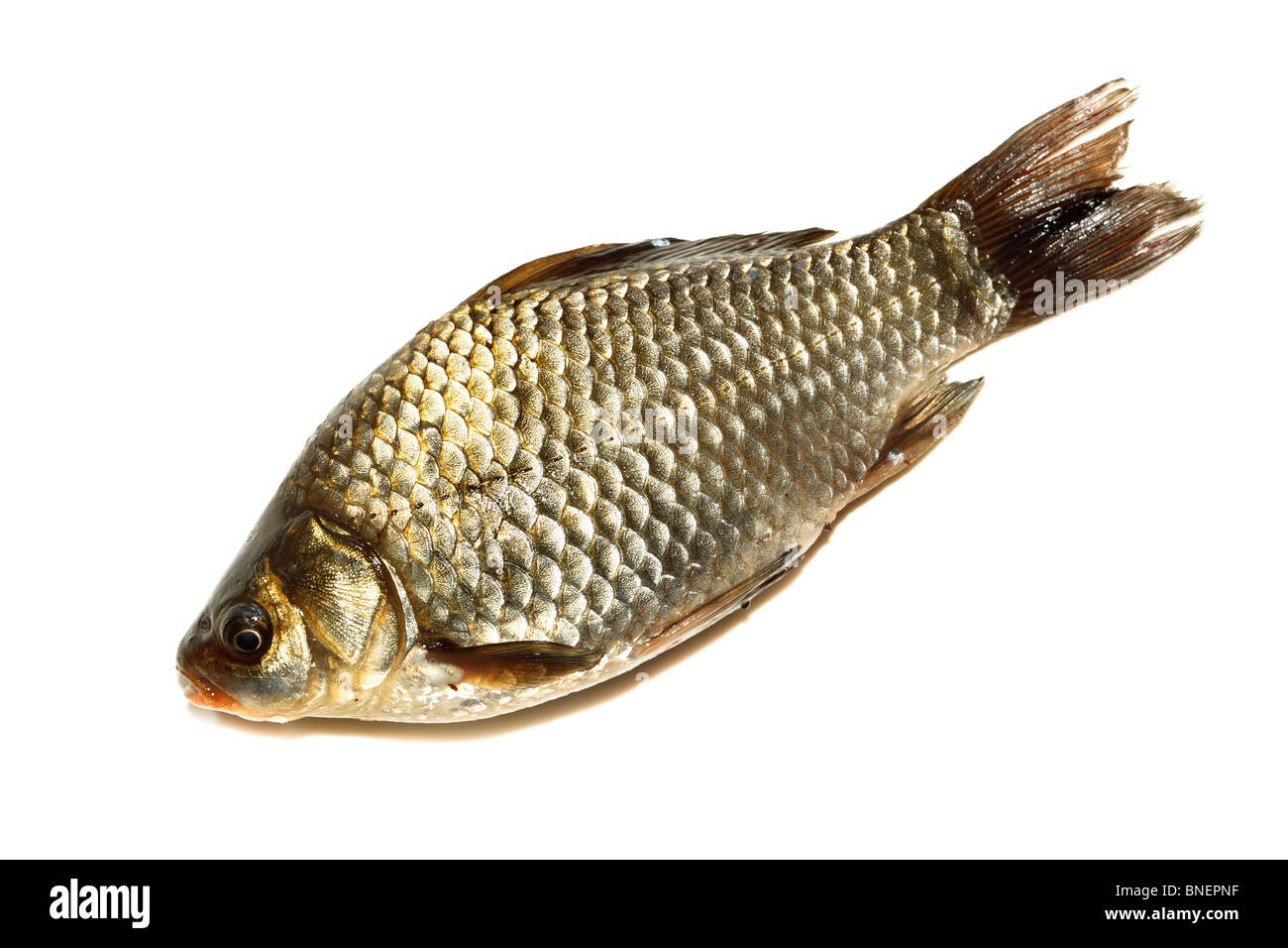 Freshwater fish in front of white background. Stock Photo