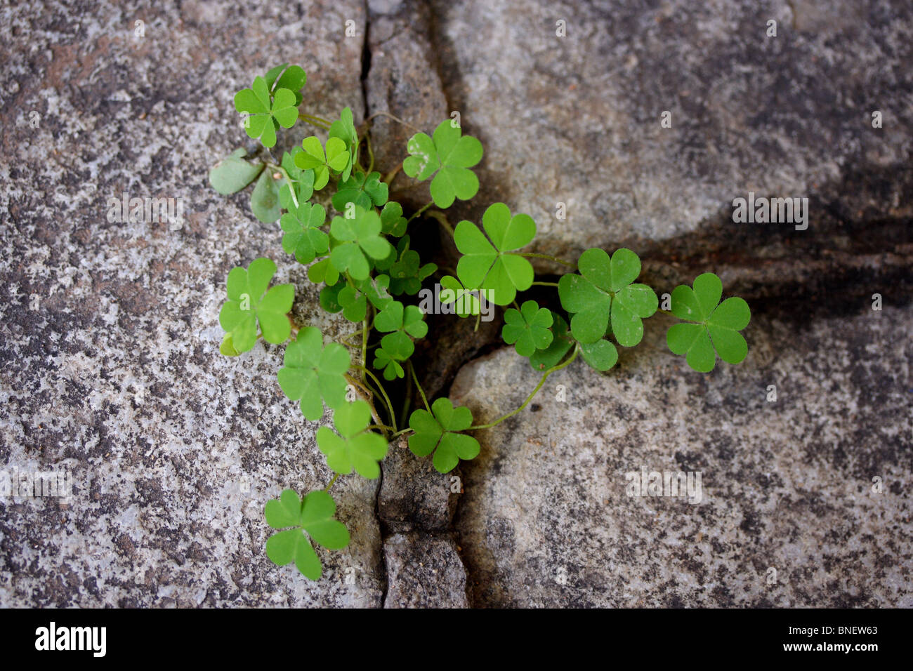 Clovers growing from rock cracks - Stock Image