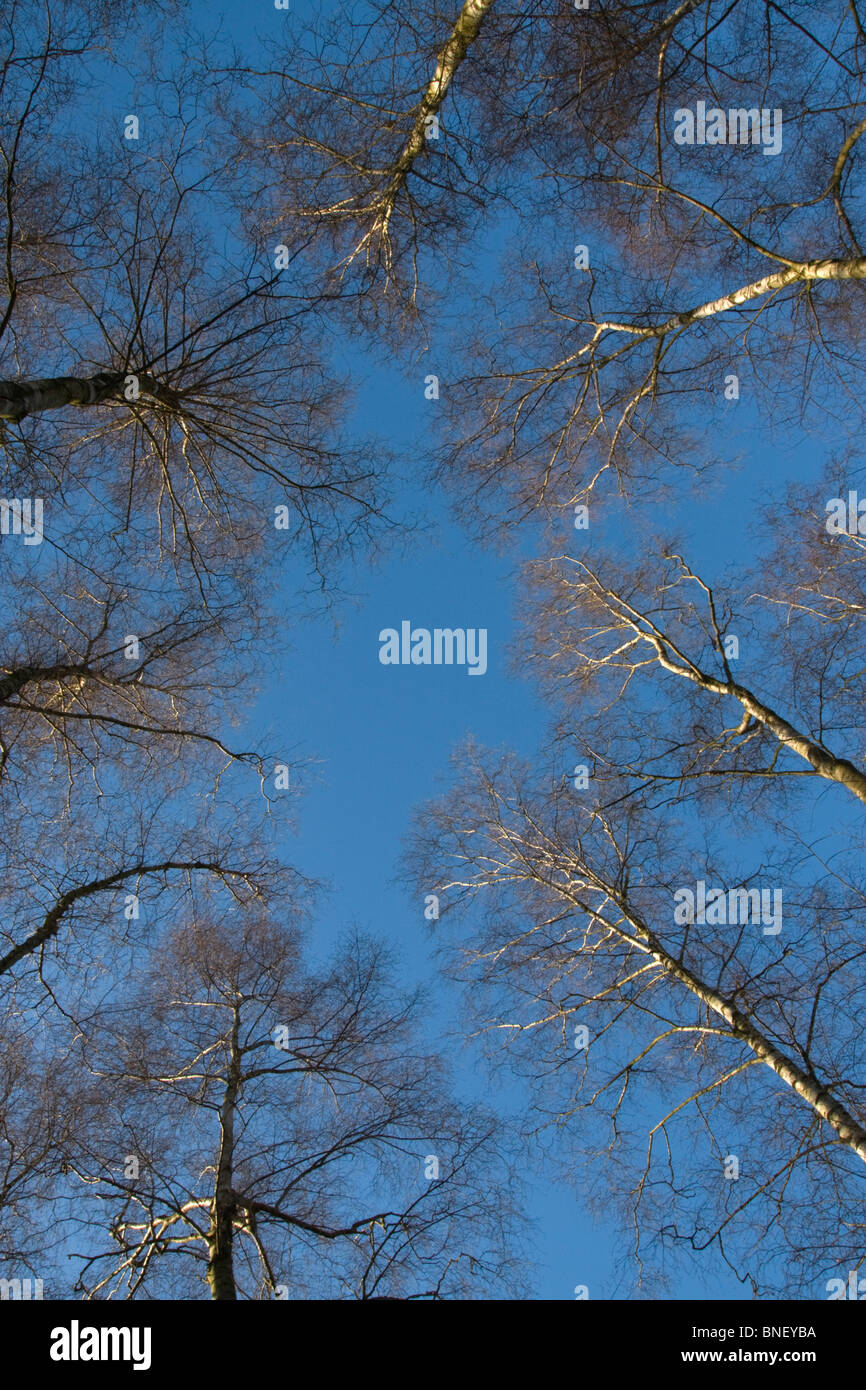Birch Trees in Winter viewed upwards to the Blue Sky, Hampshire UK - Stock Image