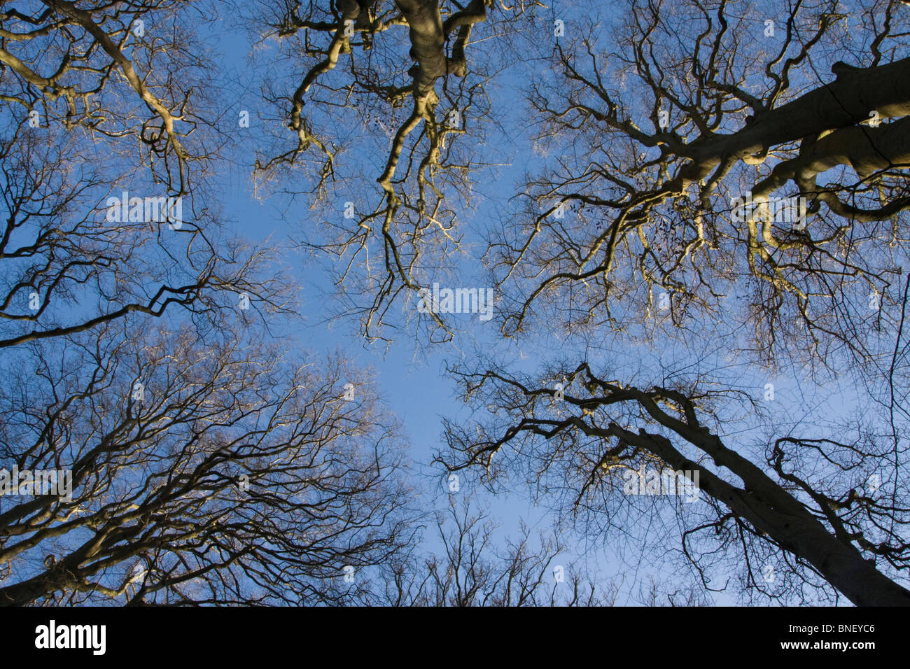 Birch Trees in Winter viewed upwards to the Blue Sky, New Forest, Hampshire, UK - Stock Image