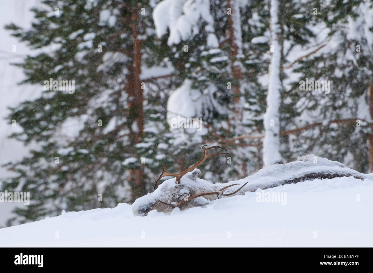 Dead Reindeer carcass under the snow in the boreal forest, Finland - Stock Image