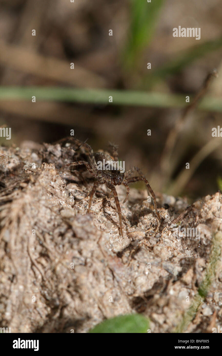Most likely Pardosa amentata, a wolf spider - Stock Image