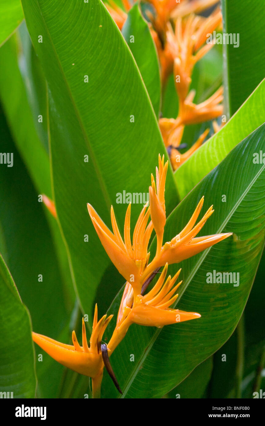 Heliconia psittacorum (Parrot or Parakeet Heliconia), Sabah, Malaysia - Stock Image