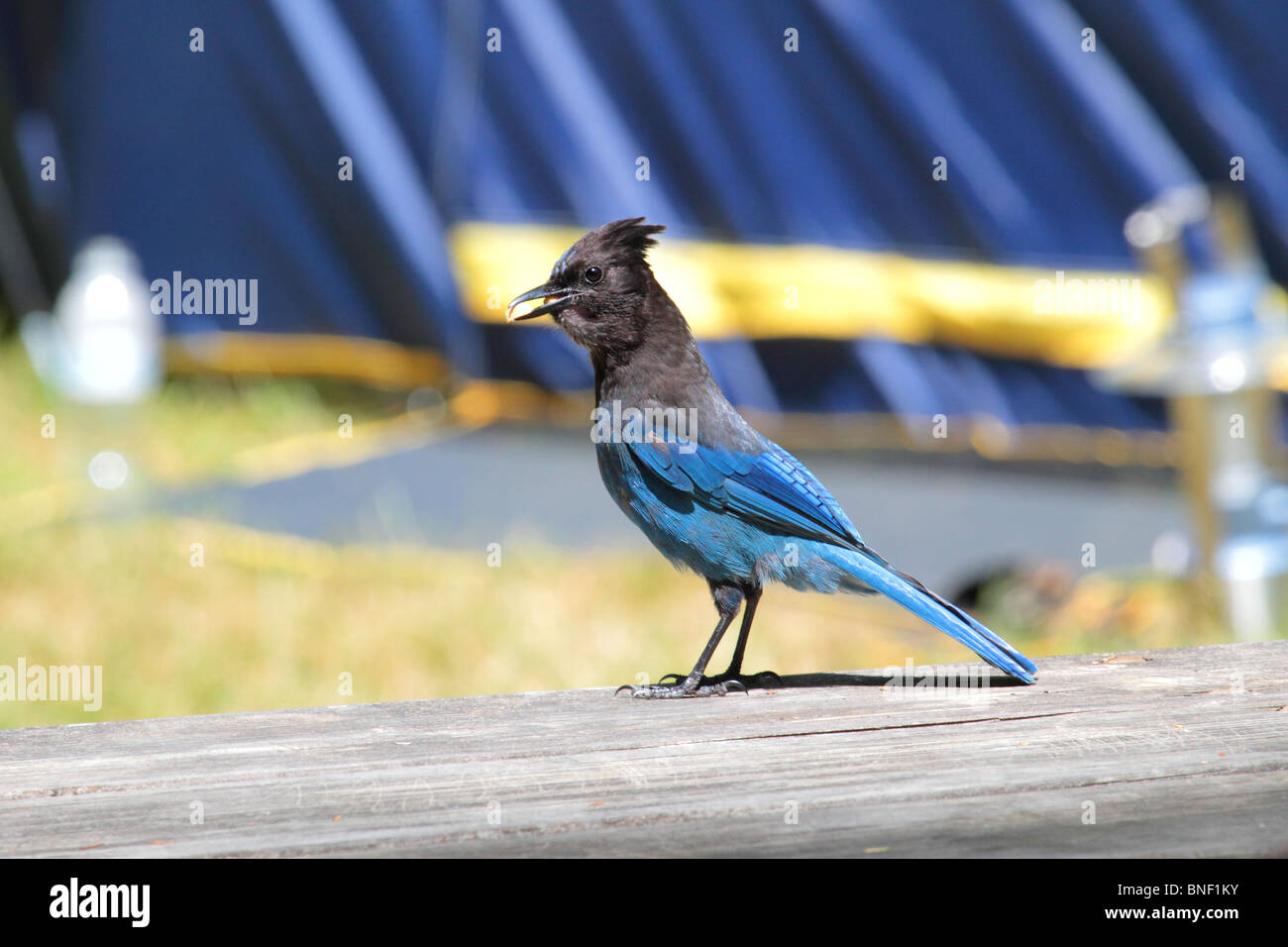 stellar jay bird on a picnic table while camping in the pacific northwest. the bird is eating some peanuts it stole - Stock Image