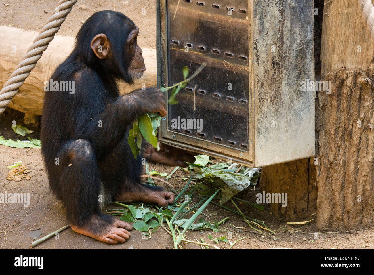 Western common chimpanzee (Pan troglodytes verus), infant poking with a branch in a food box, behavioral enrichment, - Stock Image