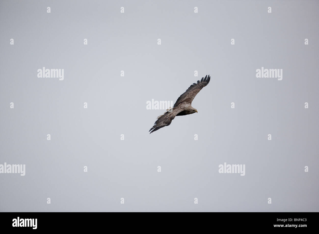A White-tailed eagle, Haliaeetus albicilla, soaring in the mist above the island Runde on the Atlantic west coast, Norway. Stock Photo
