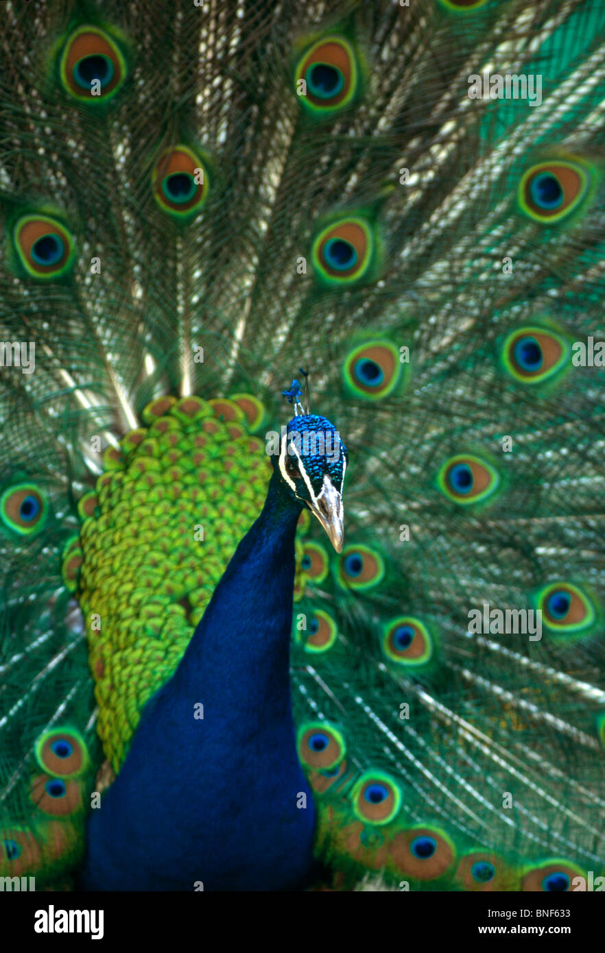 Portrait of a Peacock displaying his tail feathers, Pietermaritzburg, KwaZulu-Natal Province, South Africa - Stock Image