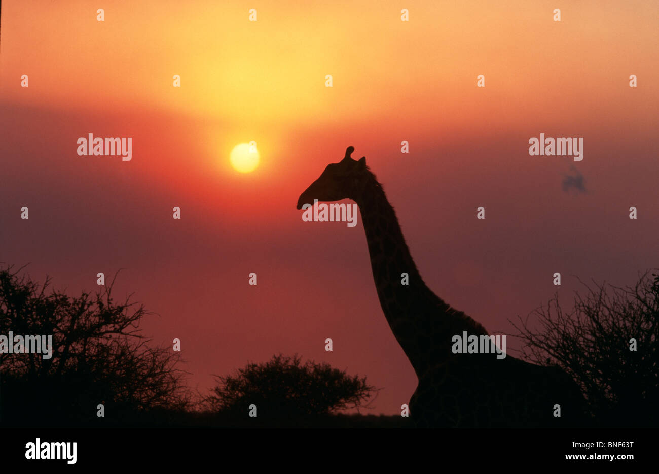Silhouette of Giraffe (Giraffa Camelopardalis) against sunset, KwaZulu-Natal Province, South Africa - Stock Image