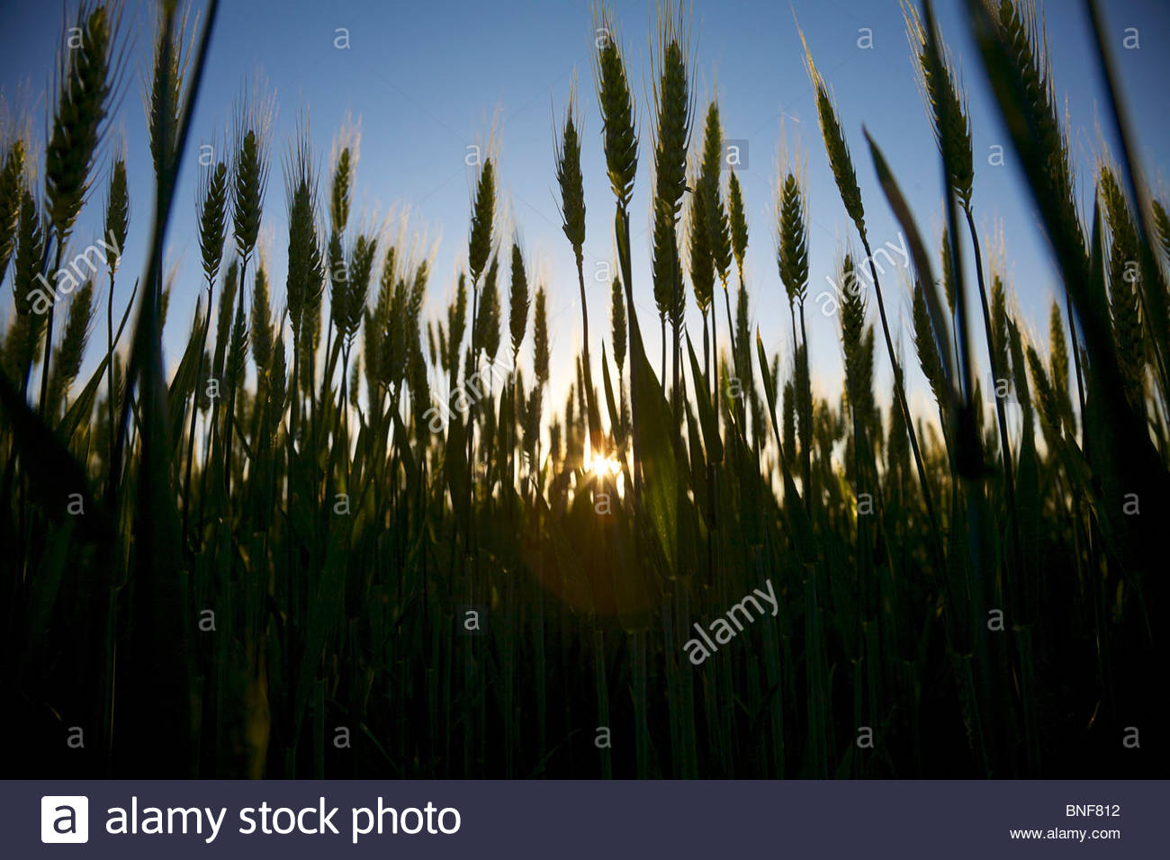 Wheat growing on a small organic farm in rural France in late spring. Backlit by the setting sun. La Creuse, Limousin, - Stock Image