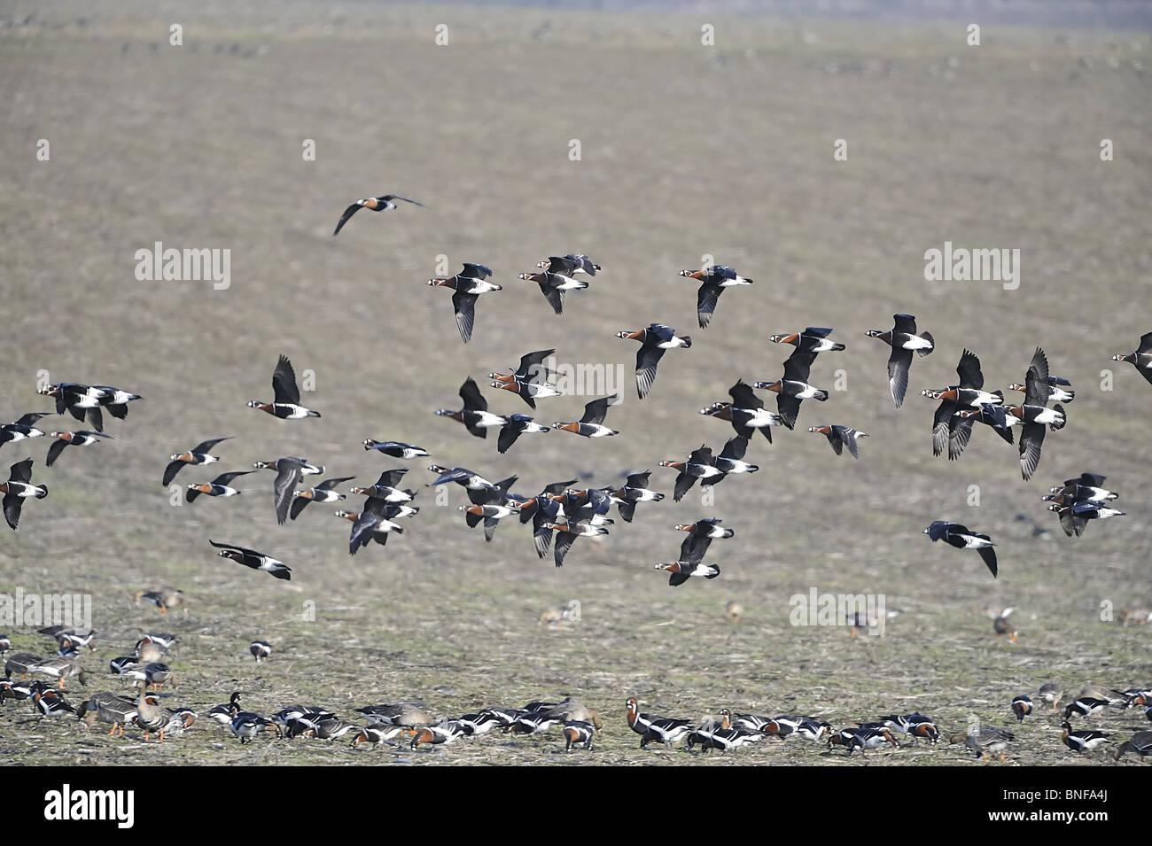 Flock of Red breasted geese (Branta ruficolis) in flight in winter - Stock Image