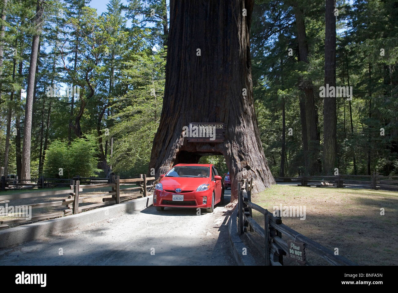 A car driving through the Chandler Tree, a drive through redwood tree in the Redwoods of California - Stock Image