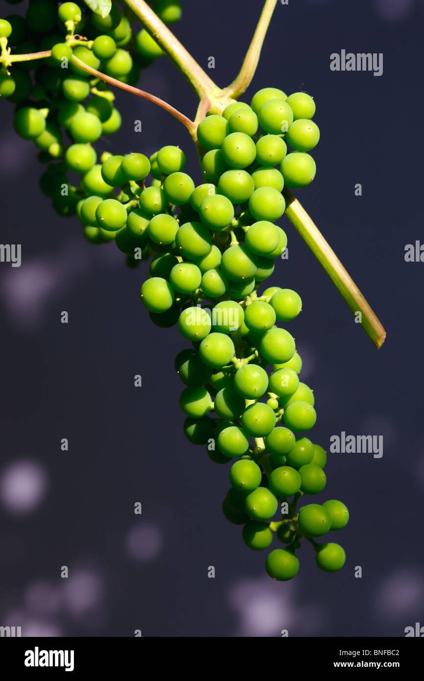 Vitis vinifera, Common Grape Vine. Green fruits. Stock Photo