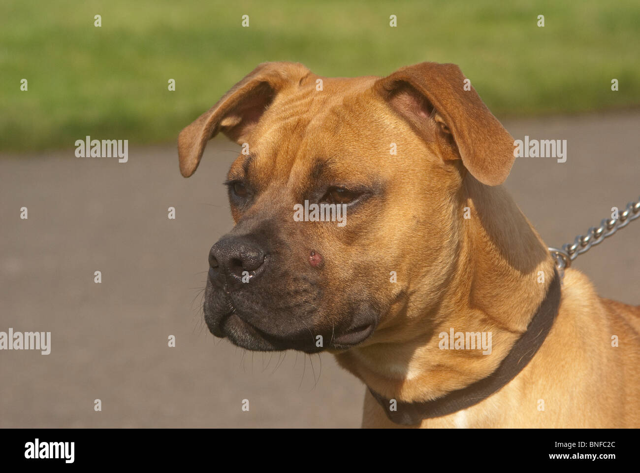 pitbull dog head and neck in half profile - Stock Image