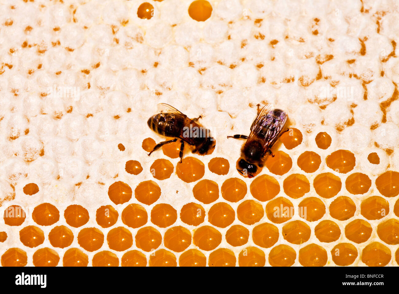 Two bees on a honeycomb showing capped and uncapped hexagonal cells - Stock Image