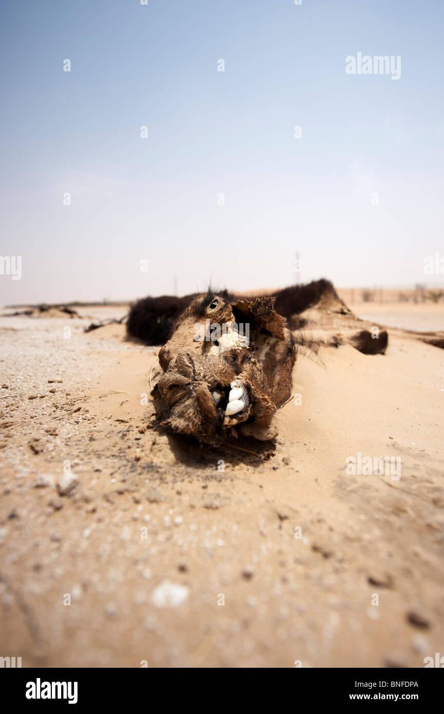 Dead camel in Liwa, Abu Dhabi, UAE Stock Photo: 30458242 - Alamy