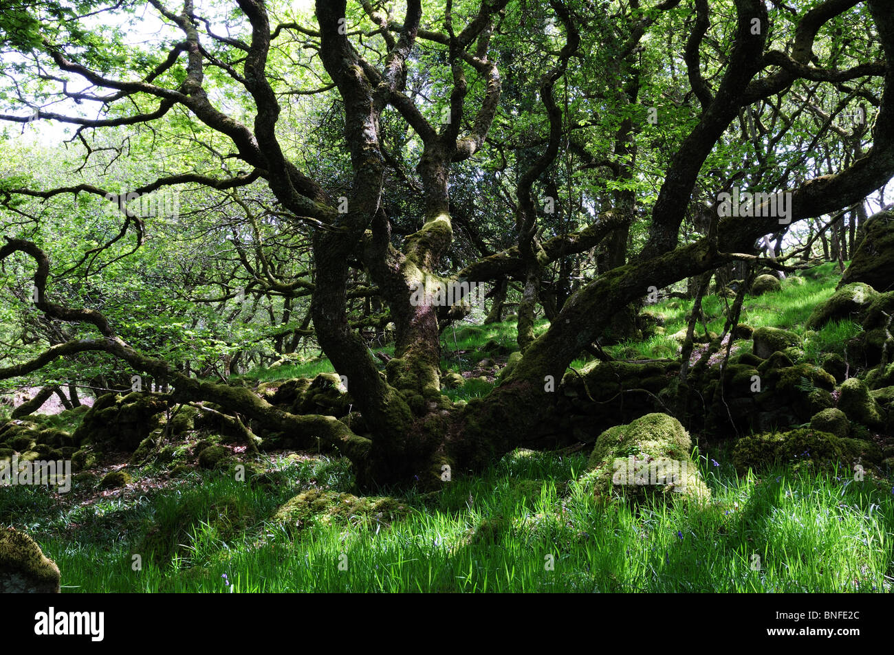 Tycanol woods Newport Pembrokeshire one of the few remaining ancient woodland in Wales Cymru UK GB - Stock Image