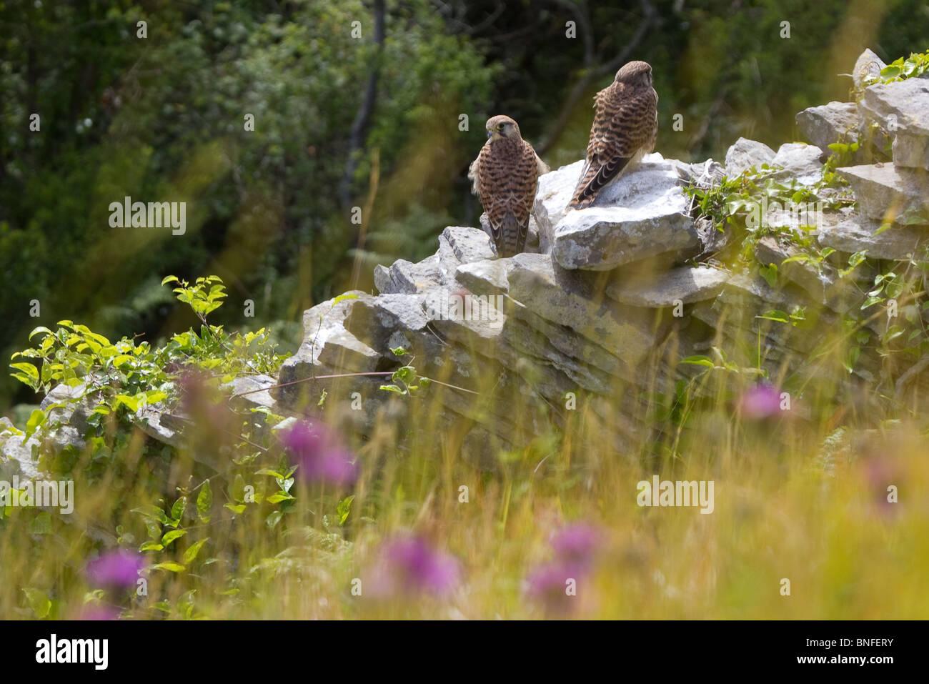 Pair of kestrels on wall in summer meadow. - Stock Image