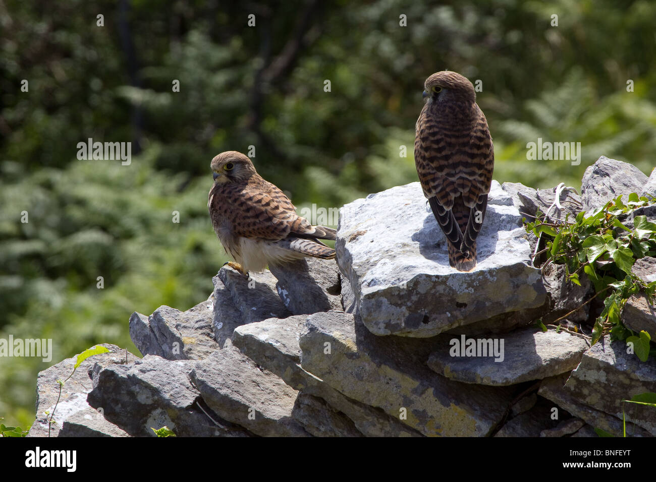Pair of kestrels sitting on a dry stone wall. - Stock Image