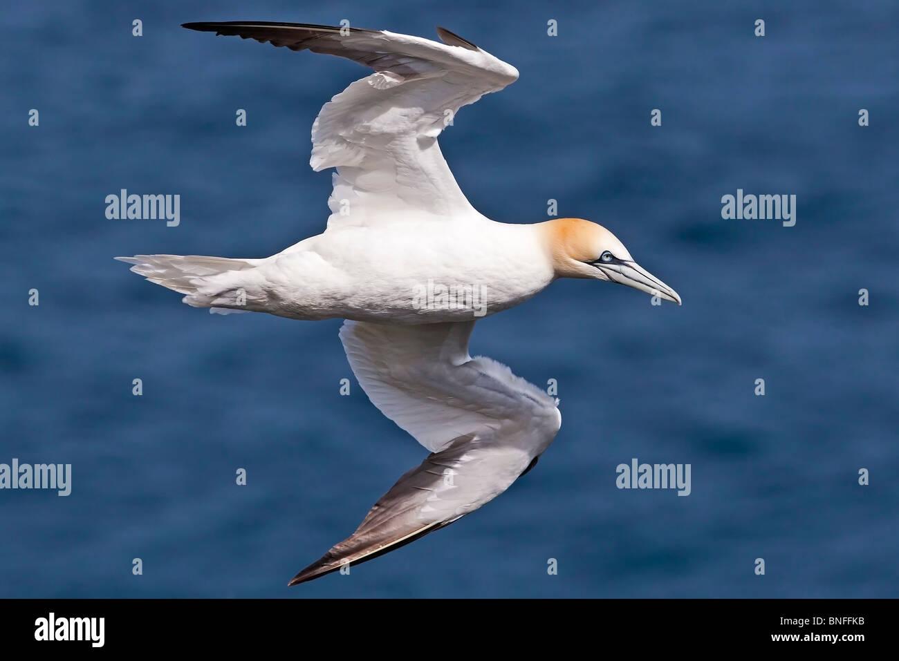Gannet in flight over a blue sea. - Stock Image