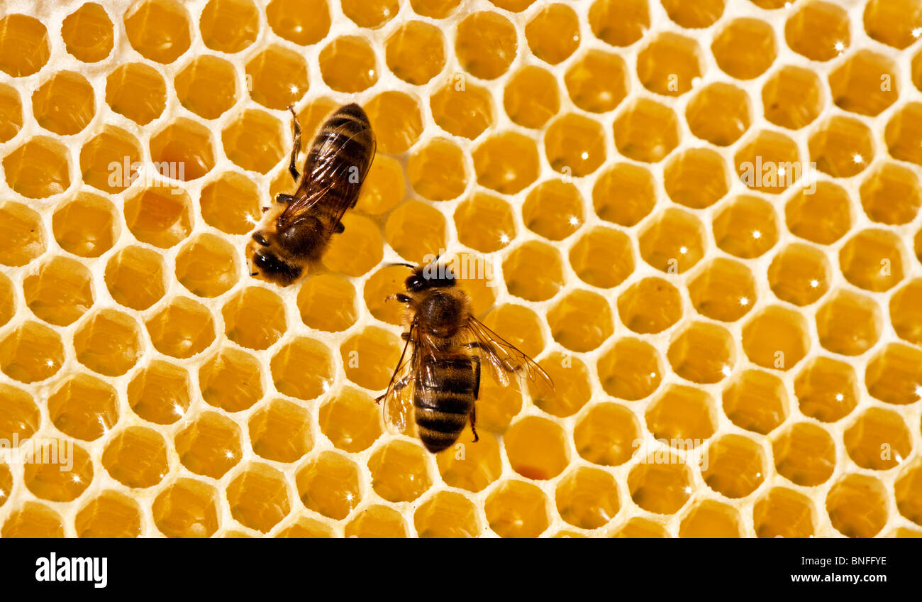 Two bees on a honeycomb - Stock Image
