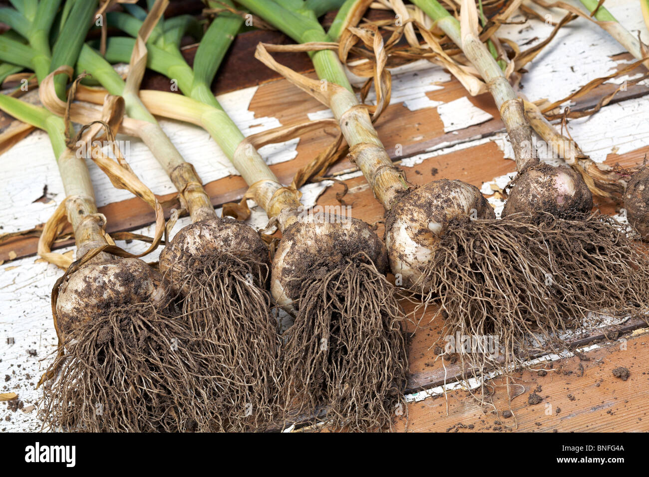 Home Grown Garlic Drying outside - Stock Image