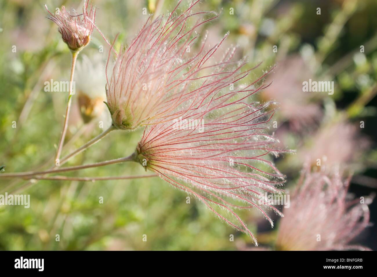 Tufts on Apache Plume in Santa Fe New Mexico - Stock Image