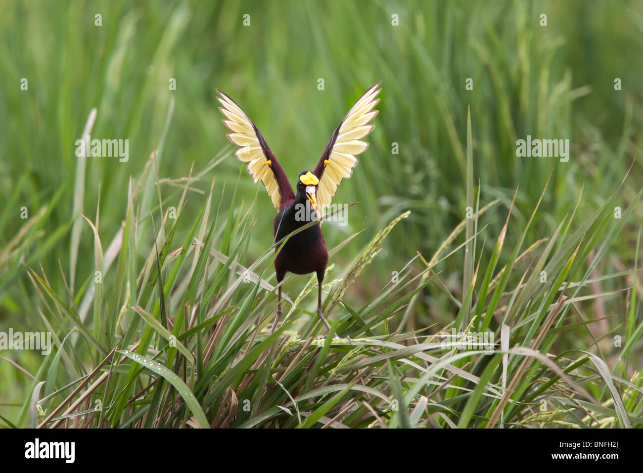 Northern Jacana Adult doing wing diaplay after landing. Note yellow spurs on wings. - Stock Image