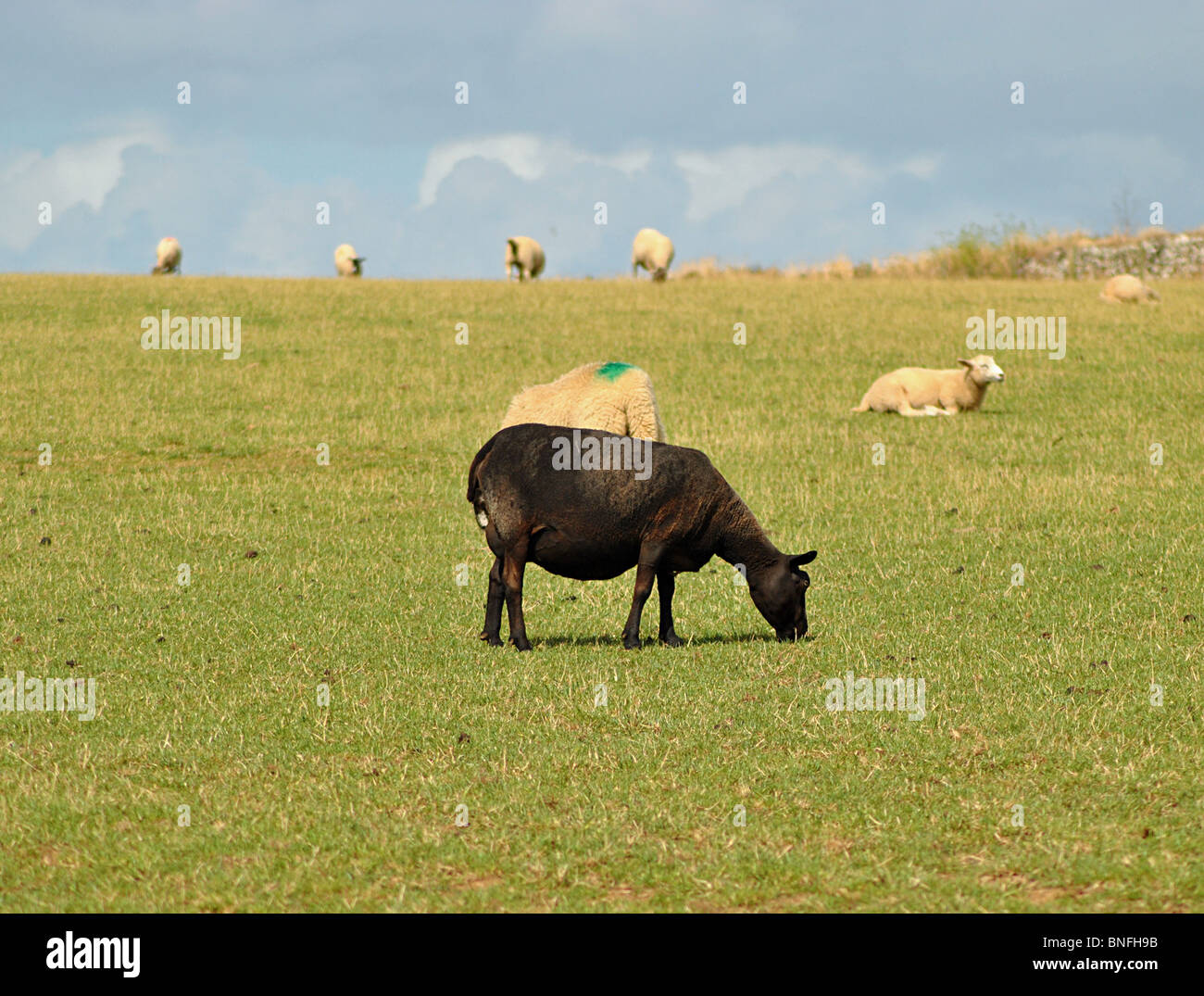 Single black sheep in field of white ones, Cornwall, England - Stock Image