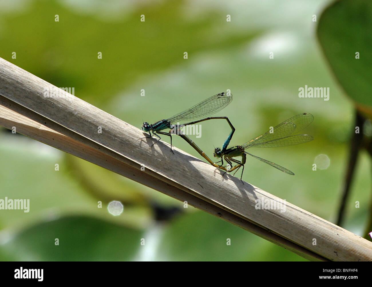 Mating dragonflies, England - Stock Image