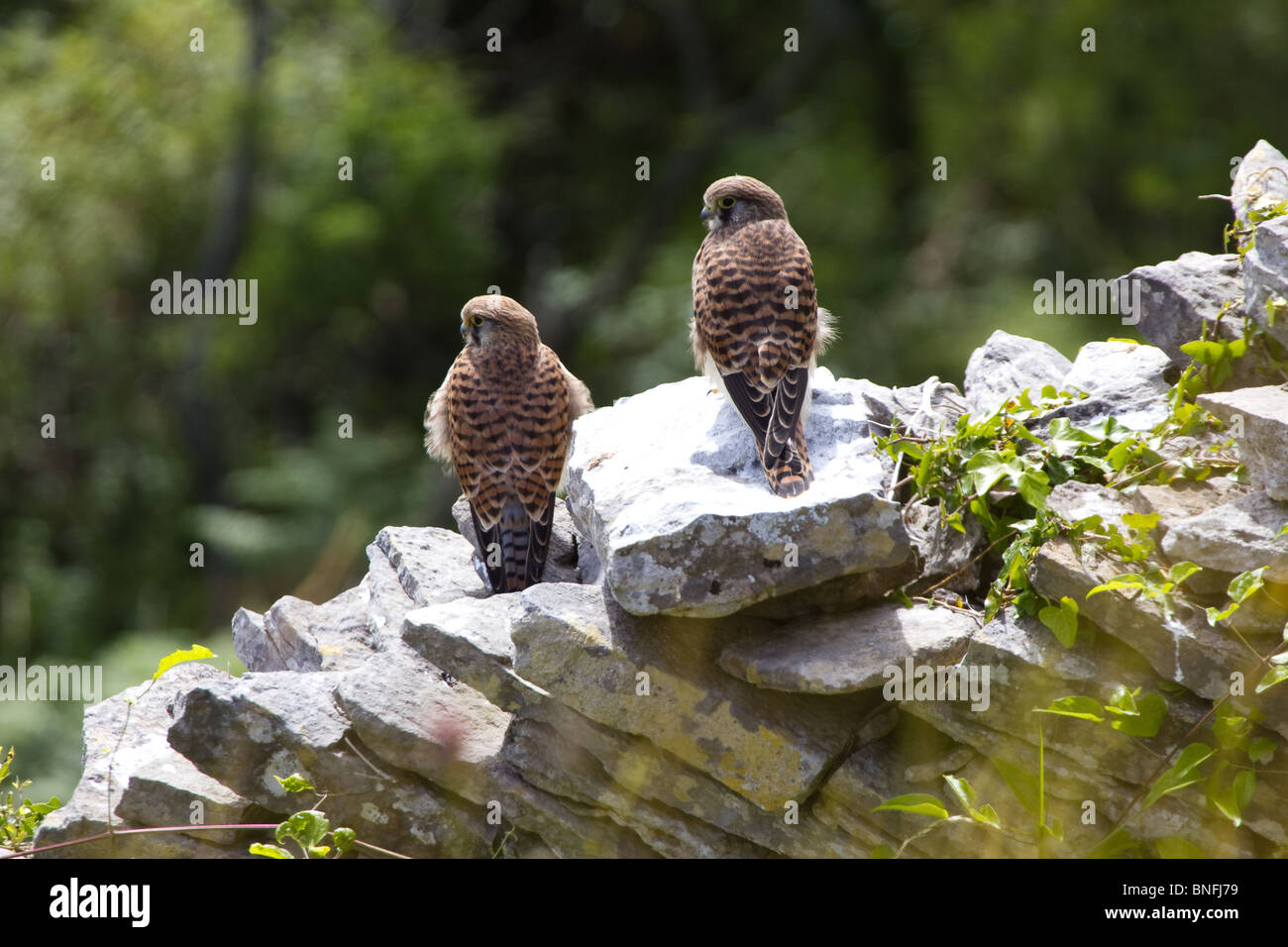 Pair of kestrels on a dry stone wall. - Stock Image