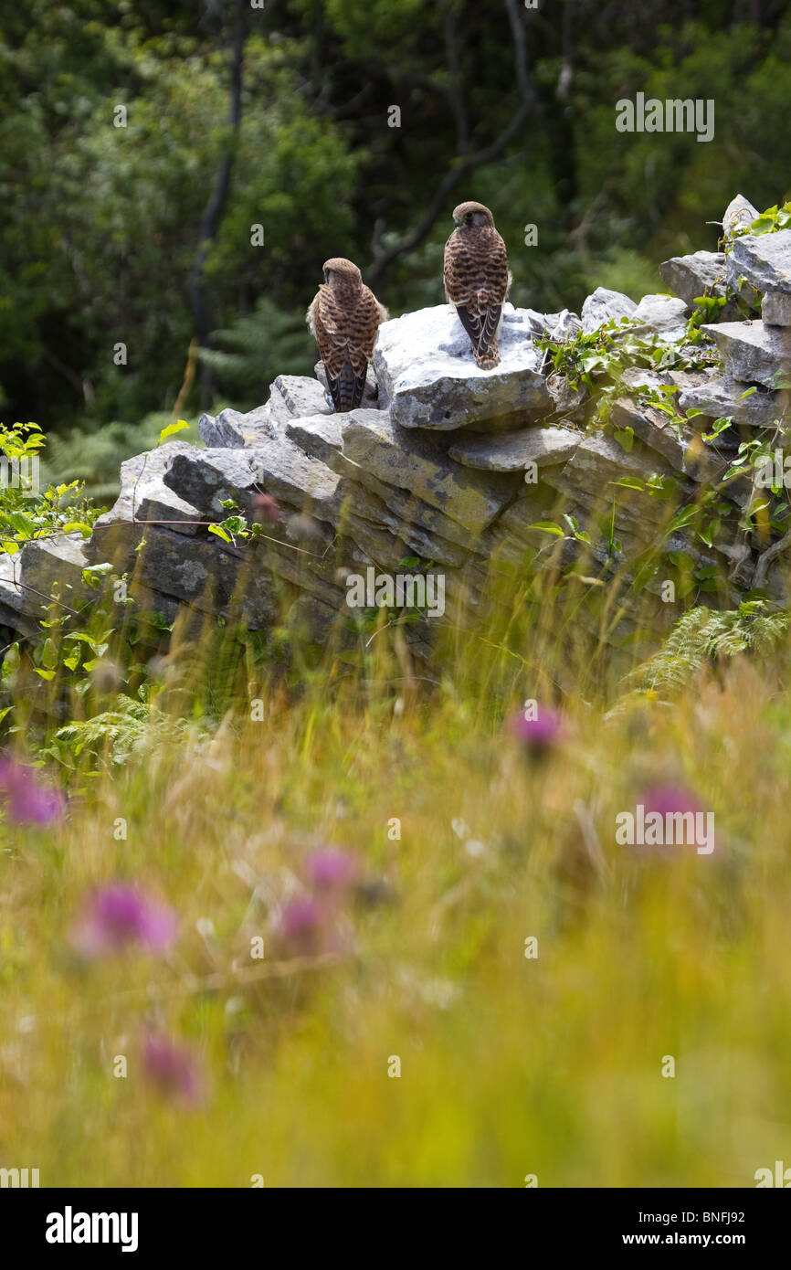 Pair of kestrels perched on a dry stone wall in the Dorset countryside. - Stock Image