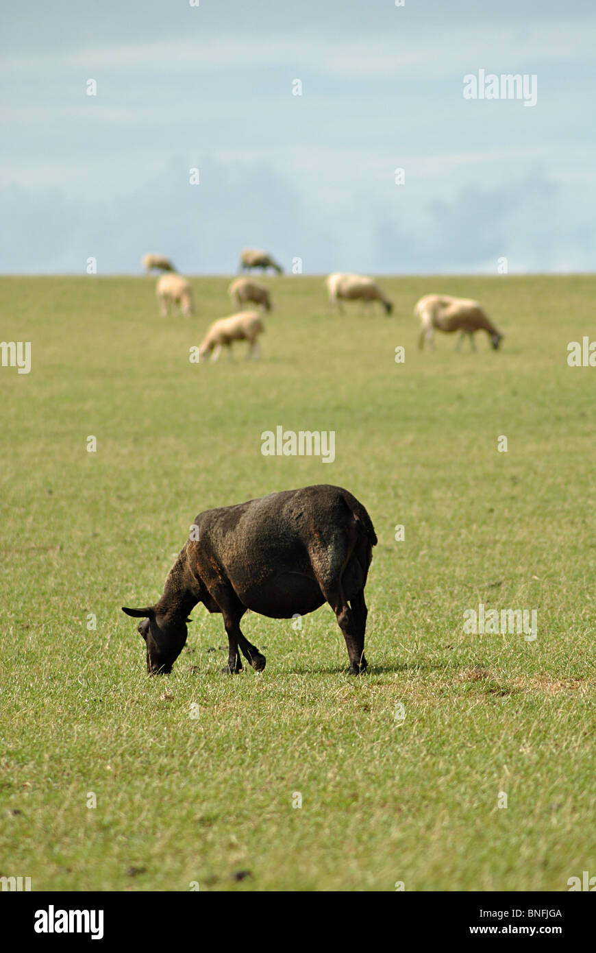 Single black sheep grazing in a field of white ones - Stock Image