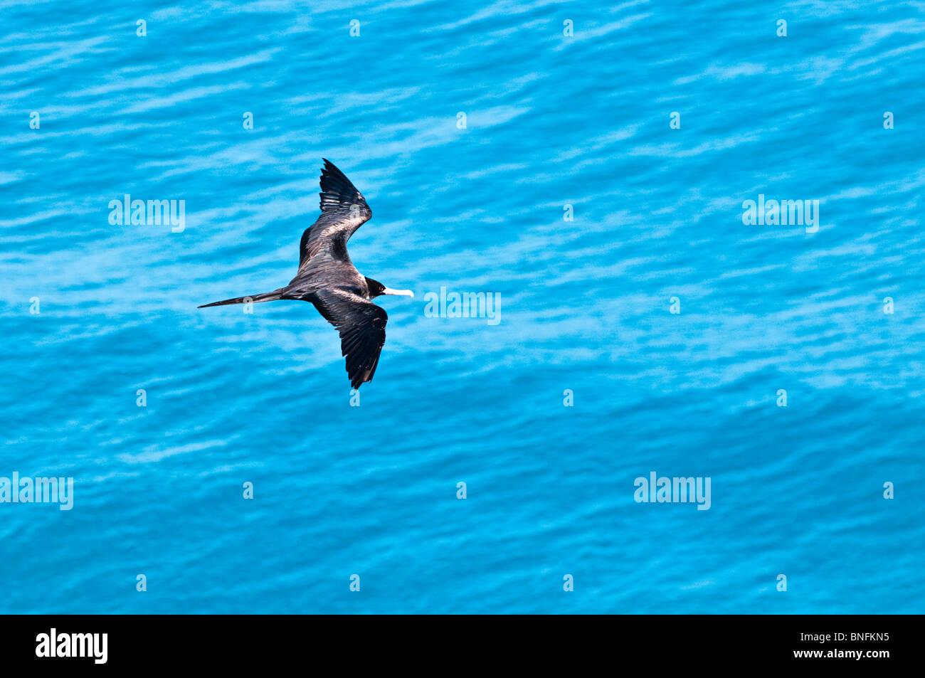 Frigate Bird (Iwa), Na Pali Coast, Kauai, Hawaii - Stock Image