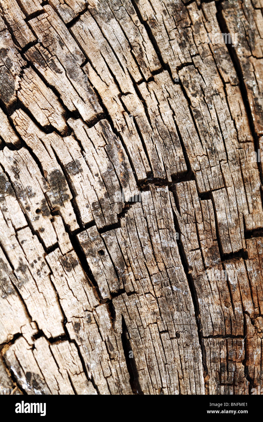 Tree Trunk Section showing Medulla on old timber - Stock Image