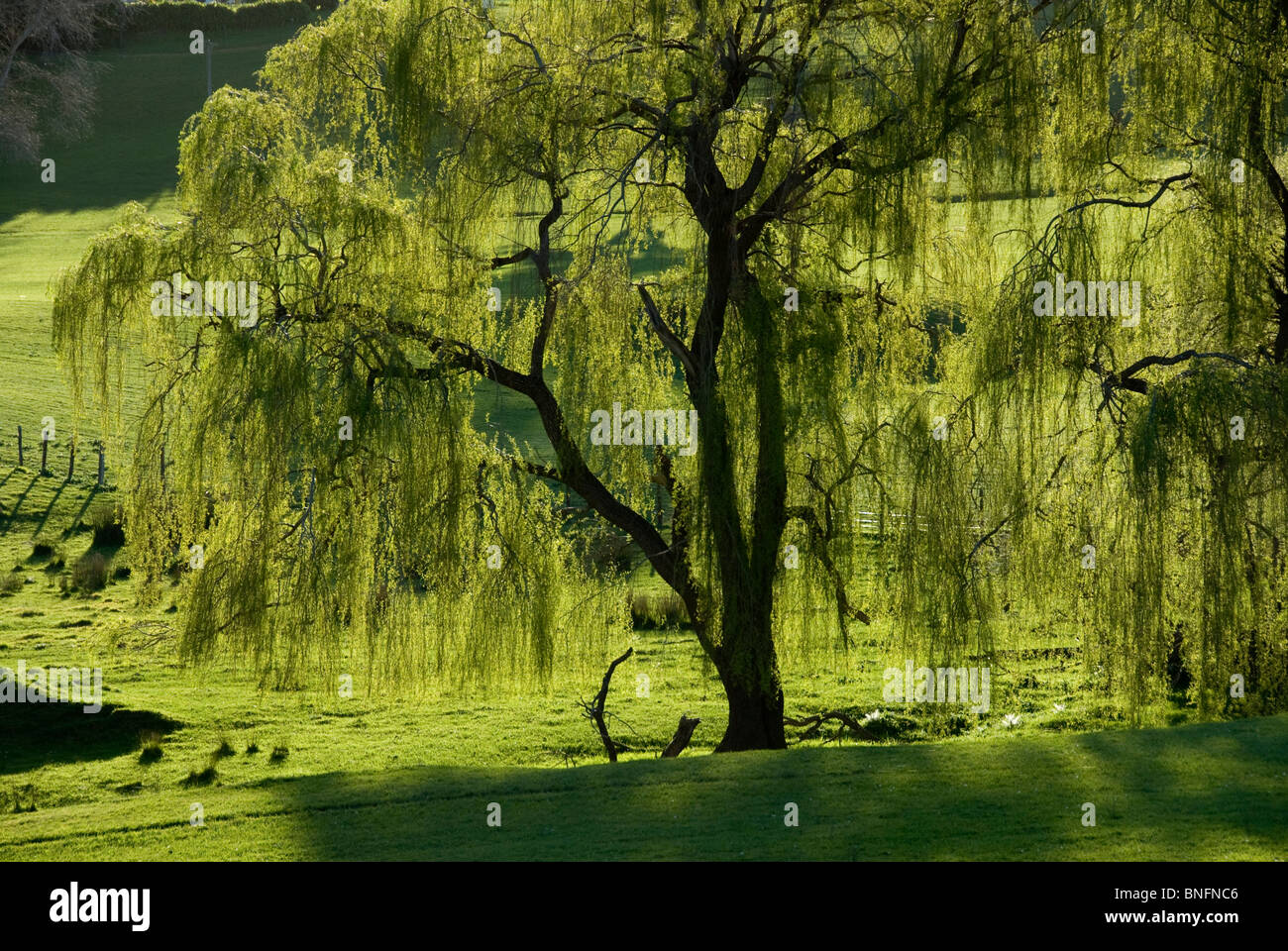 the weeping willow tree in north (each willow tree bears either male catkins,  willows occur in north america and  pussy willow and the (introduced) weeping willow are usually seen only in.