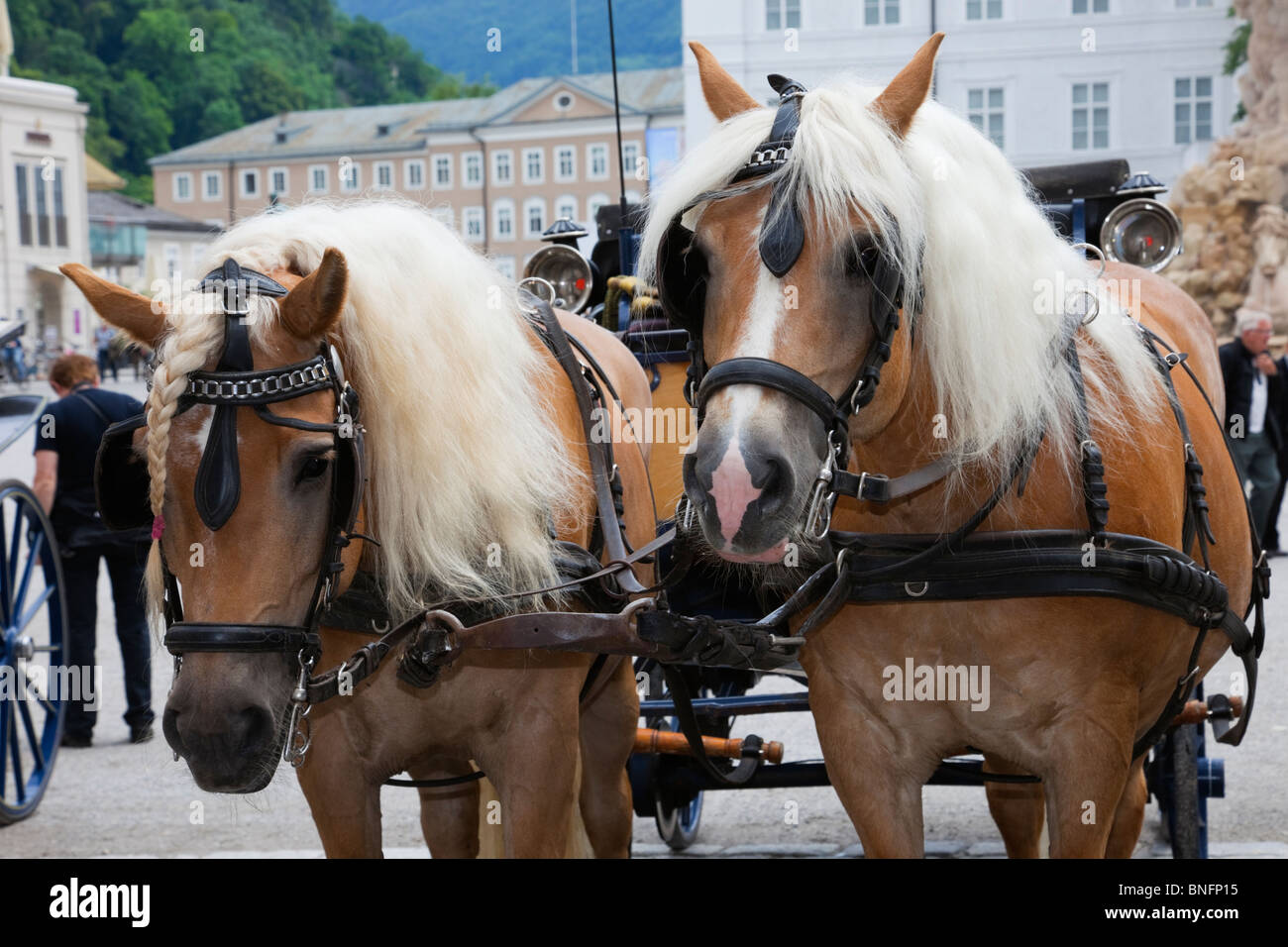 Tourist's horse drawn carriage for city tours with a pair of blond horses in harness. Residenz Platz, Salzburg, - Stock Image