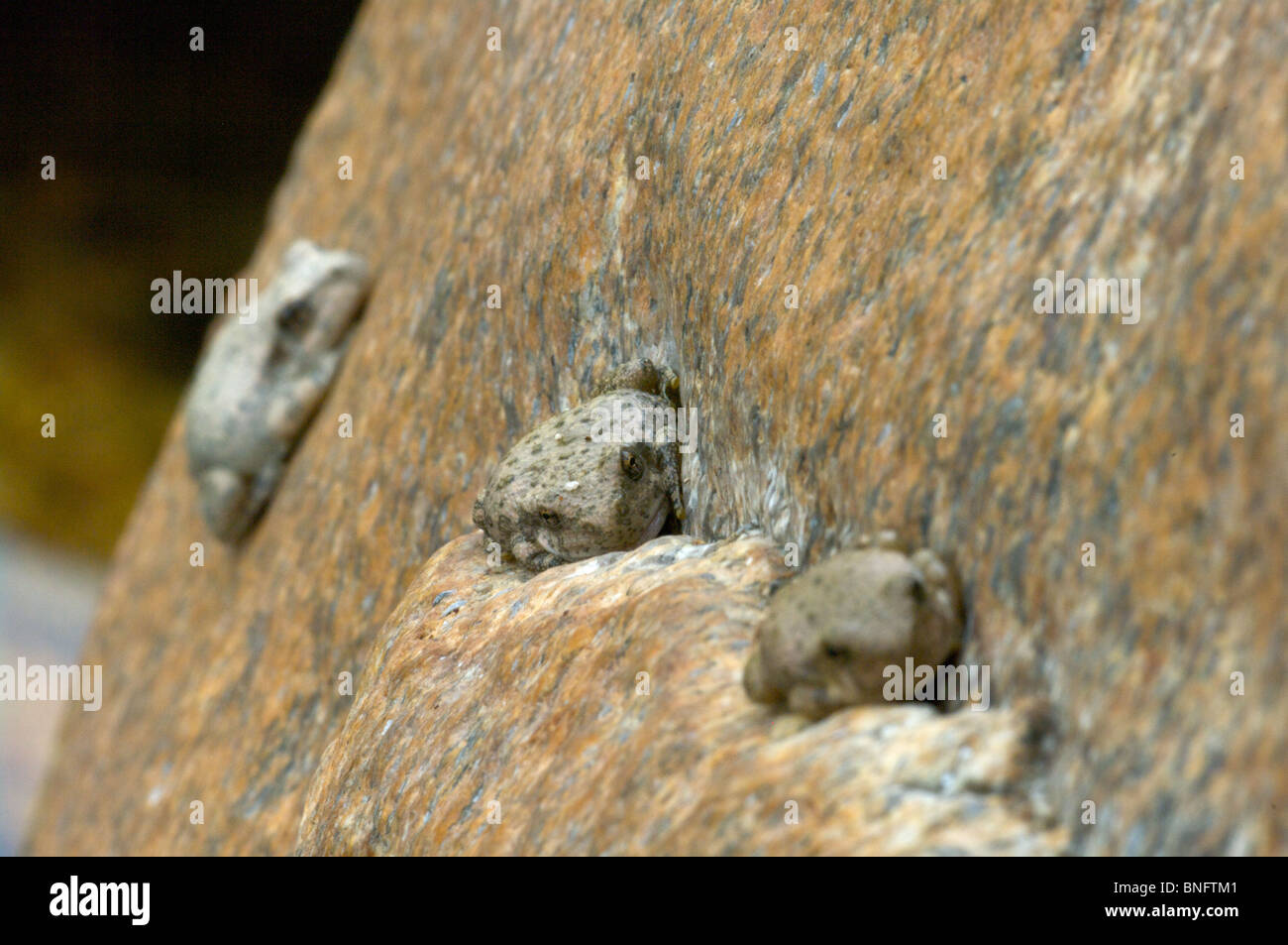 Three Canyon Treefrogs (Hyla arenicolor) sleeping by day on a granite boulder in Sabino Canyon, Tucson, Arizona. - Stock Image