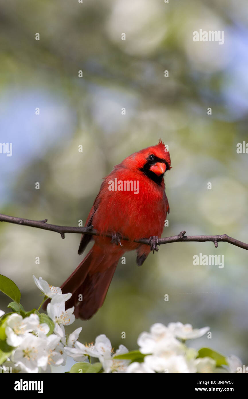 Adult Male Northern Cardinal Perched Among Apple Blossoms - Stock Image
