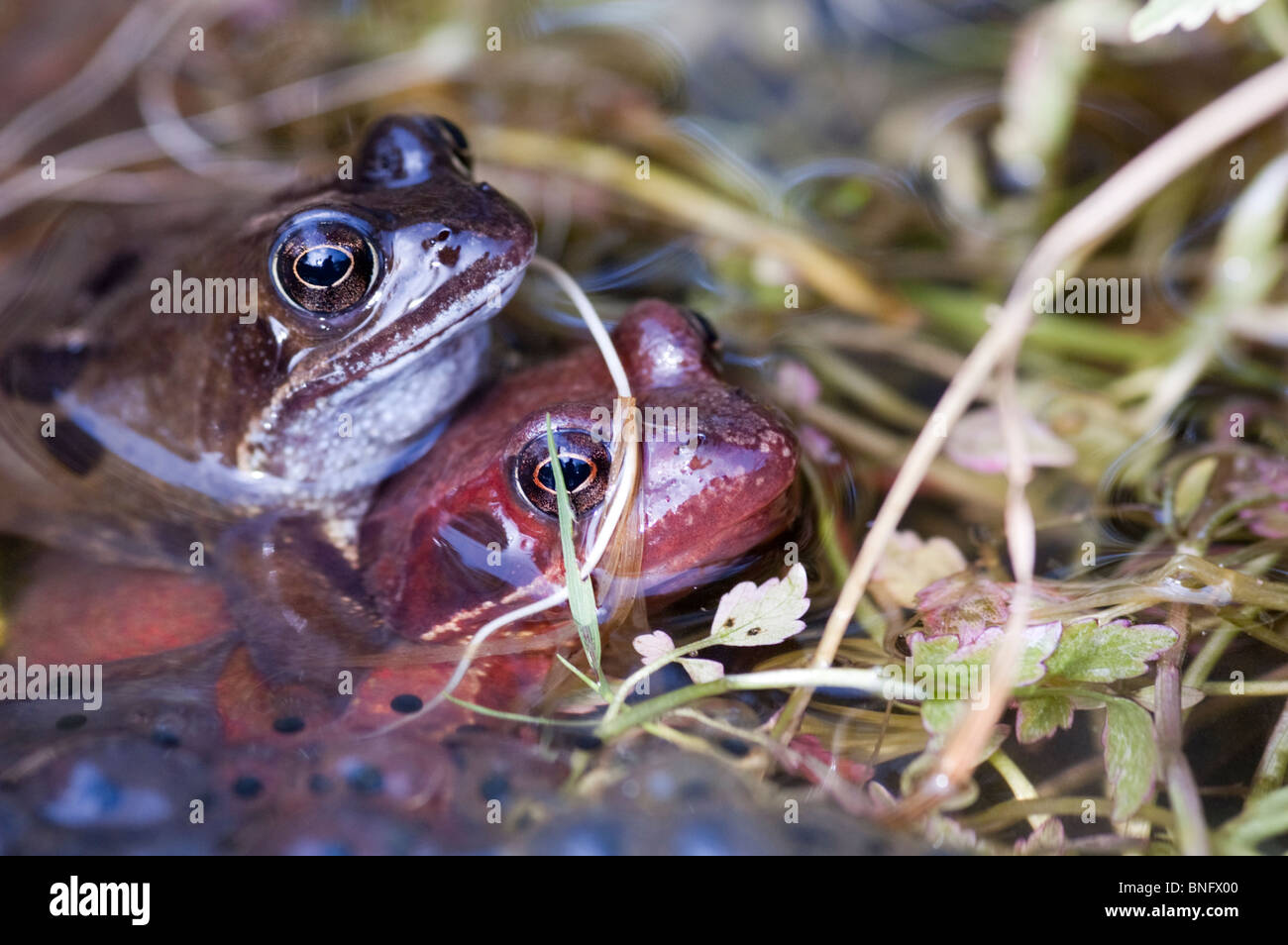 Common frogs with spawn in the mating season in a  Worcestershire garden pond - Stock Image