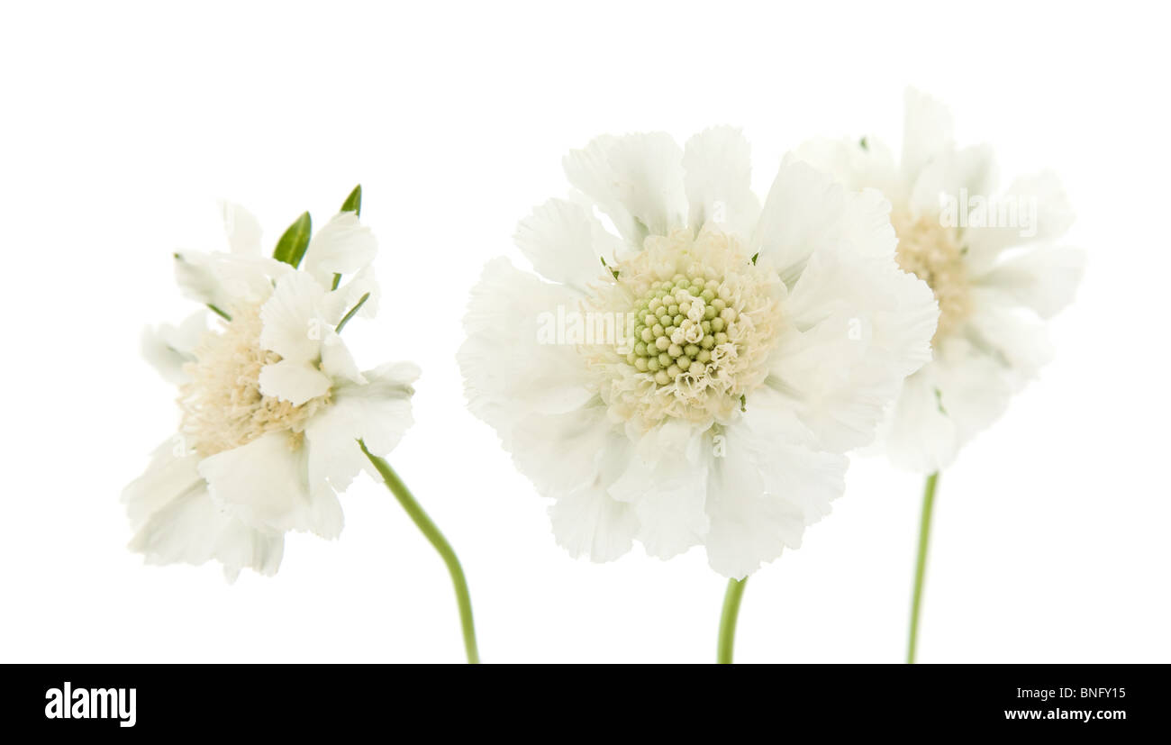 White Garden Scabiosa Pincushion Flower Stock Photos White Garden