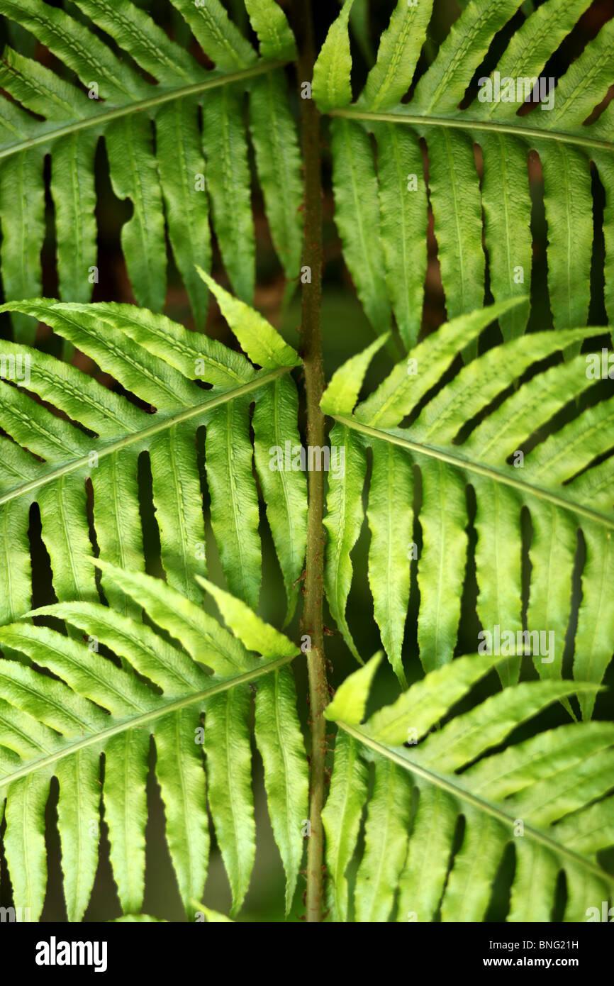 Symmetrical Green Fern Leaves - Stock Image