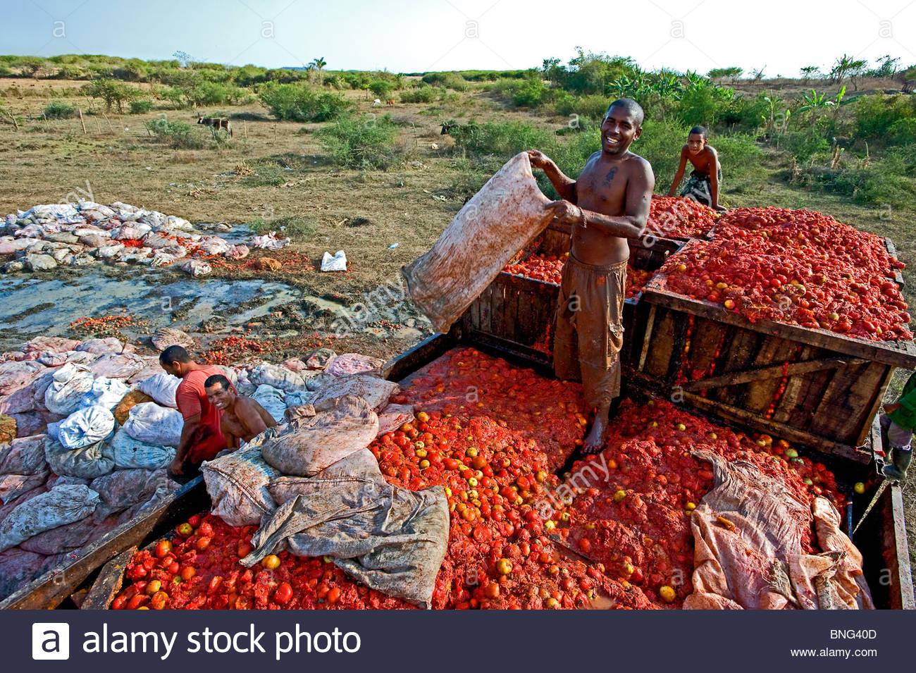 Over riped tomatoes to make tomatoe puree. Province of Sancti Spiritus,Cuba - Stock Image
