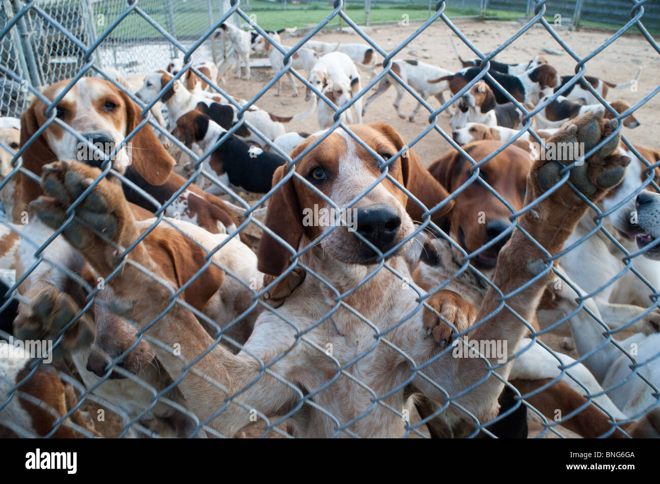 Fox hounds - Stock Image